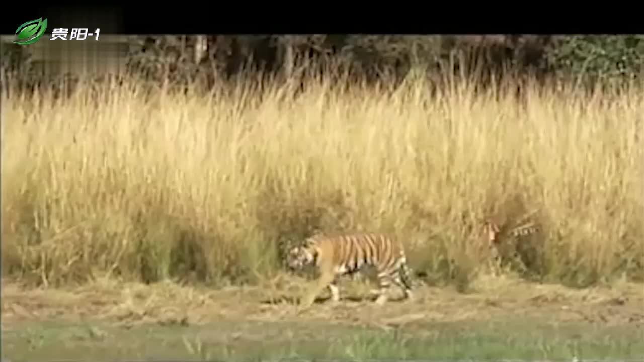 湖边的草丛里,三只老虎表现的很奇怪,你知道它们在干嘛吗?