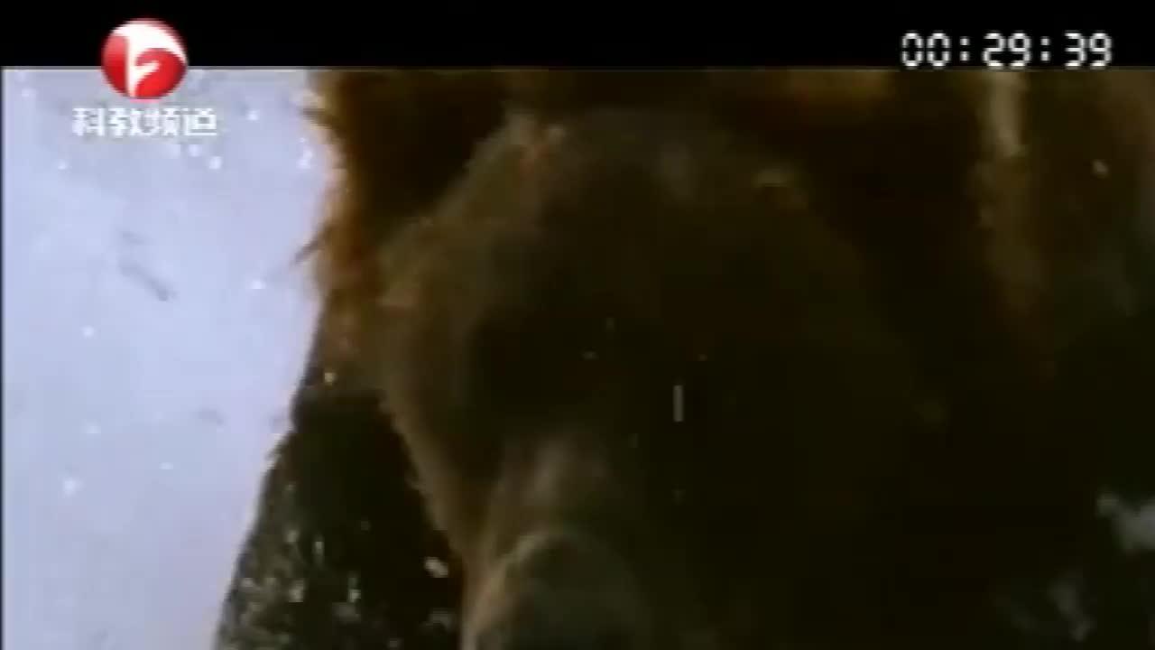 海豹还在安然睡大觉,一听北极熊来了,吓得慌忙钻进水里