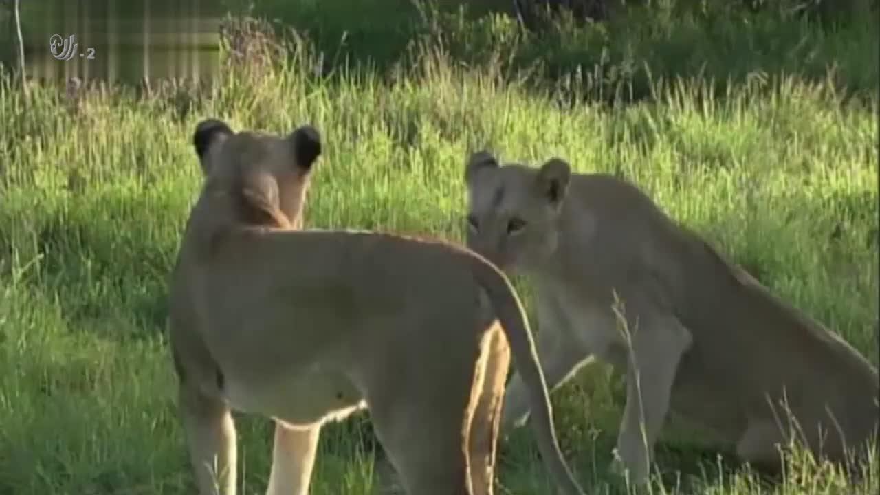 狮群正在休息结果遭到大象的驱逐,但它们却因祸得福,迎来了晚餐