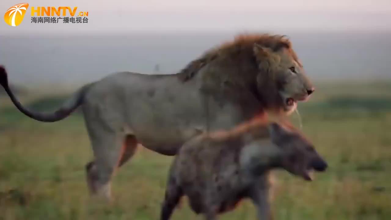 落单雄狮惨遭鬣狗围攻,狮子以一挡十,命悬一线时队友来了!