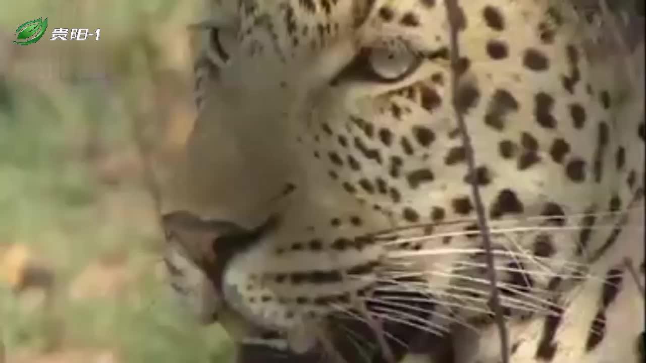 花豹刚从3只猎豹手里抢走猎物,下秒又遭狮子掠夺,结局让人失望