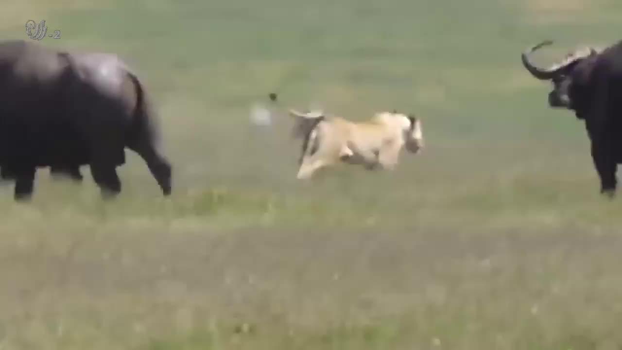 落单的野牛也敢挑衅狮子!直接被撂倒,当做今晚的晚餐