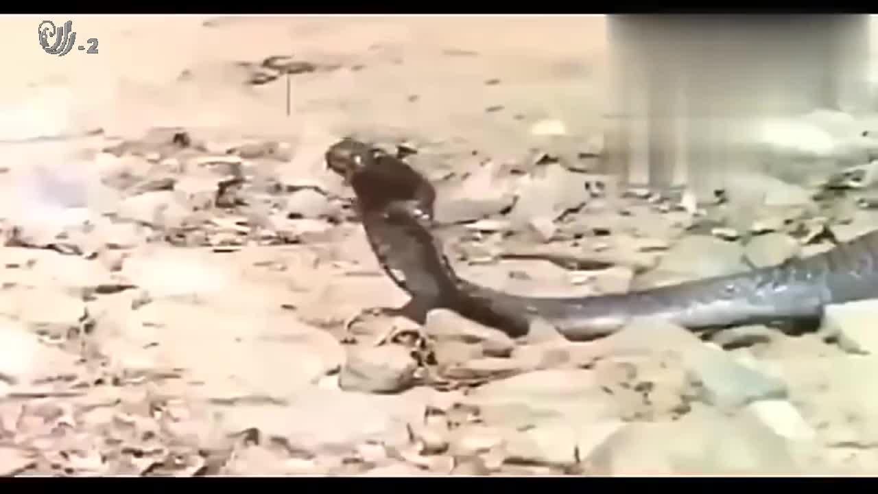 厉害的眼镜王蛇,遇见它也没有丝毫办法,只能乖乖被锁喉