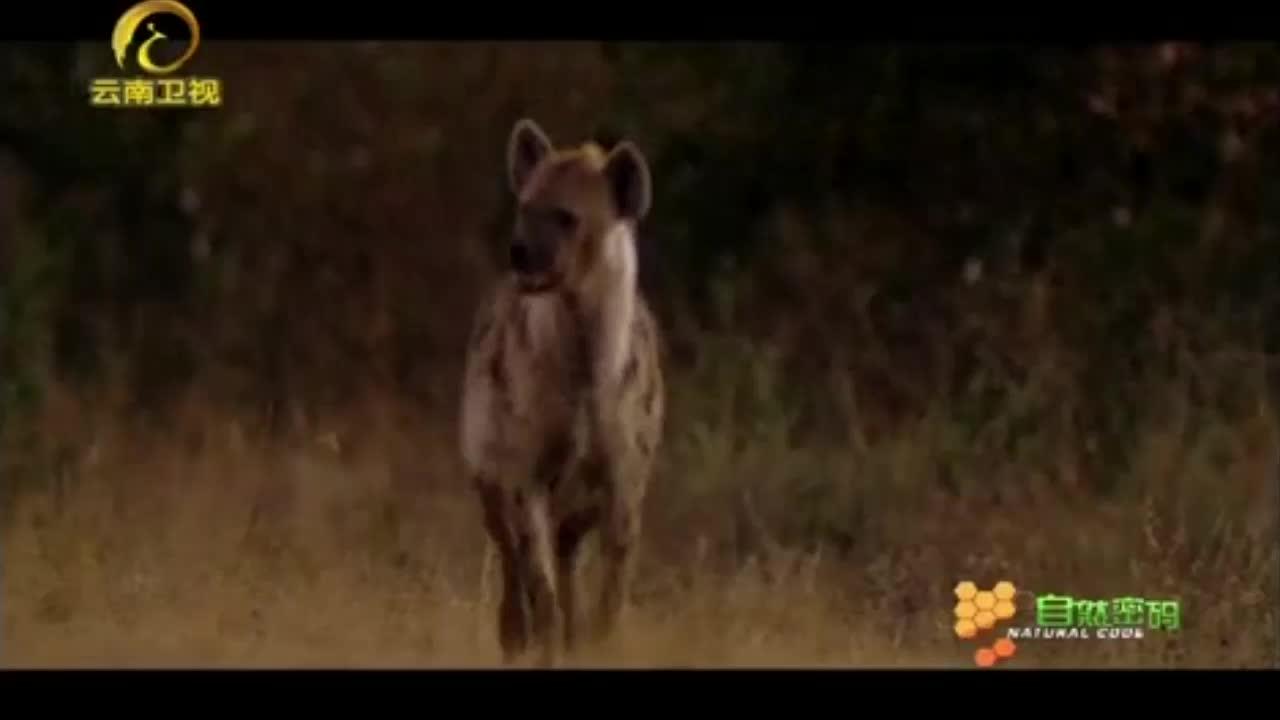 令人震惊!鬣狗表示信任的方式,竟然是相互嗅生殖器