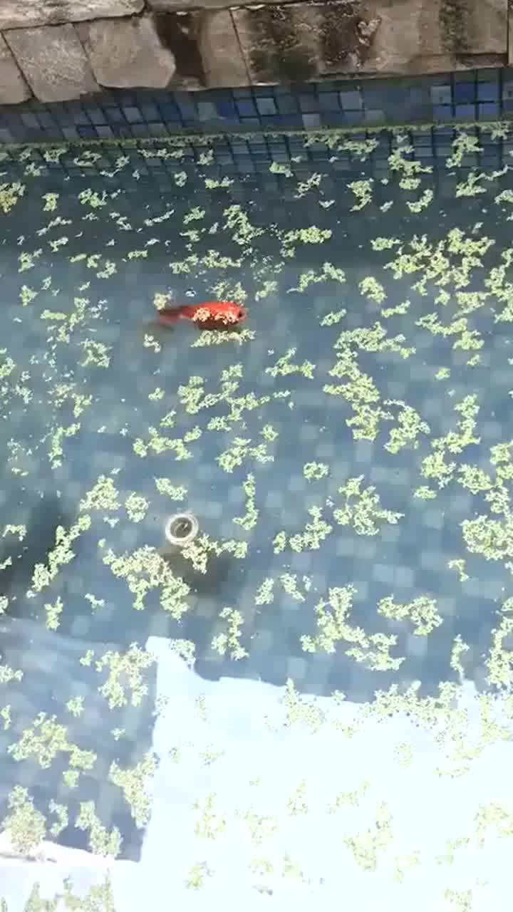 儿子的小金鱼,小小的一只,竟然用这么大鱼缸