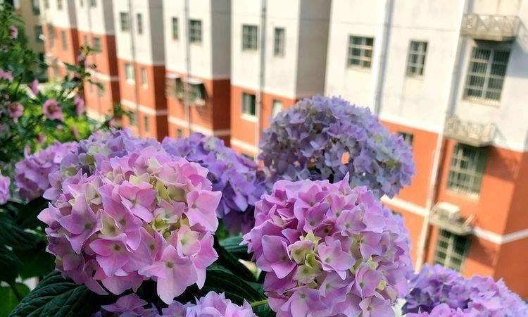 夏季怎样养绣花球,修剪就能养成棒棒糖,花开绚丽多姿,璀璨迷人