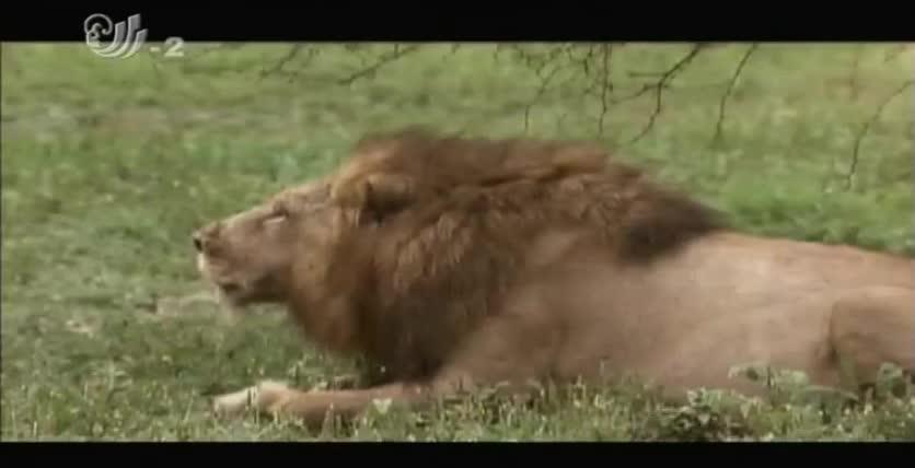 清晨是个捕食的好时机,但狮群却哪都不想去,只想着好好休息