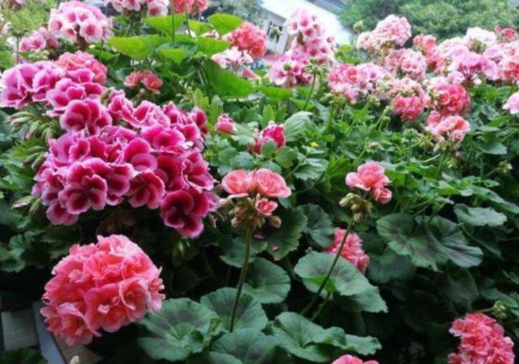 养花试试有几款,花开繁盛花香怡人,养盆放阳台美极了