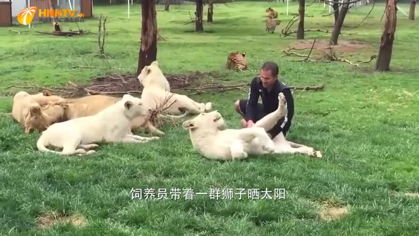 豹子偷袭男子,老虎一巴掌打飞豹子:吃了他,你想饿死我?