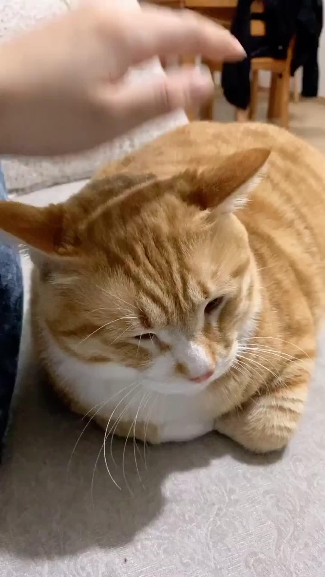 橘猫晒太阳很享受来自主人的撸毛