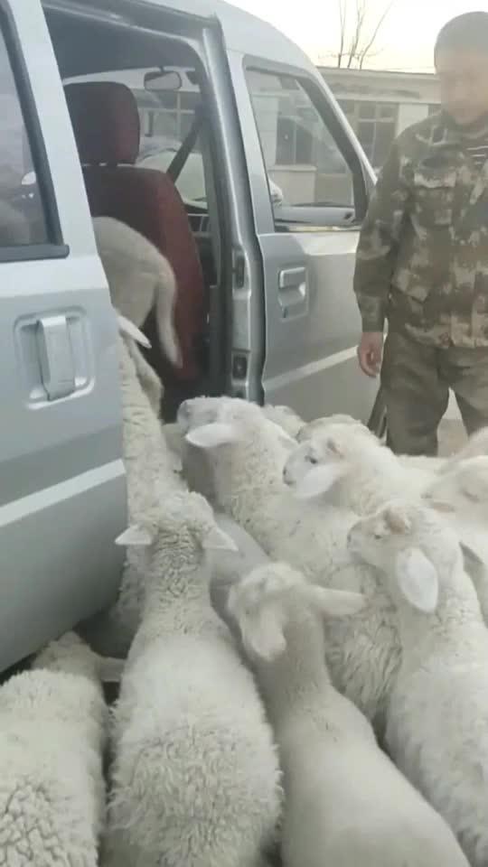 农村小伙放个羊都得用汽车羊可能这辈子都没想过还能坐上专车
