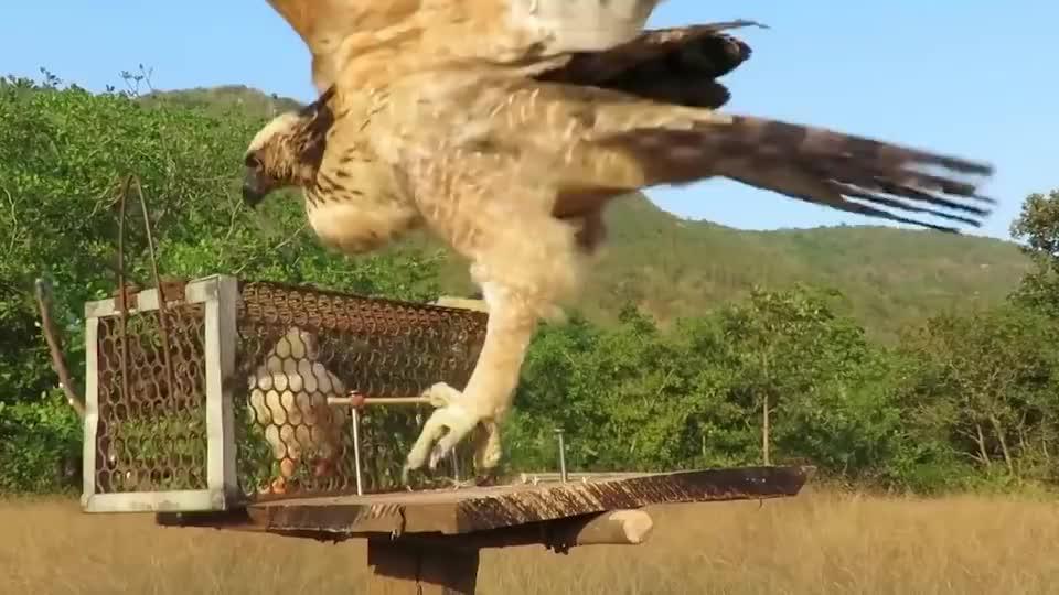野外发现一只小鸡,老鹰俯冲直下捕食,结果却惨不忍睹