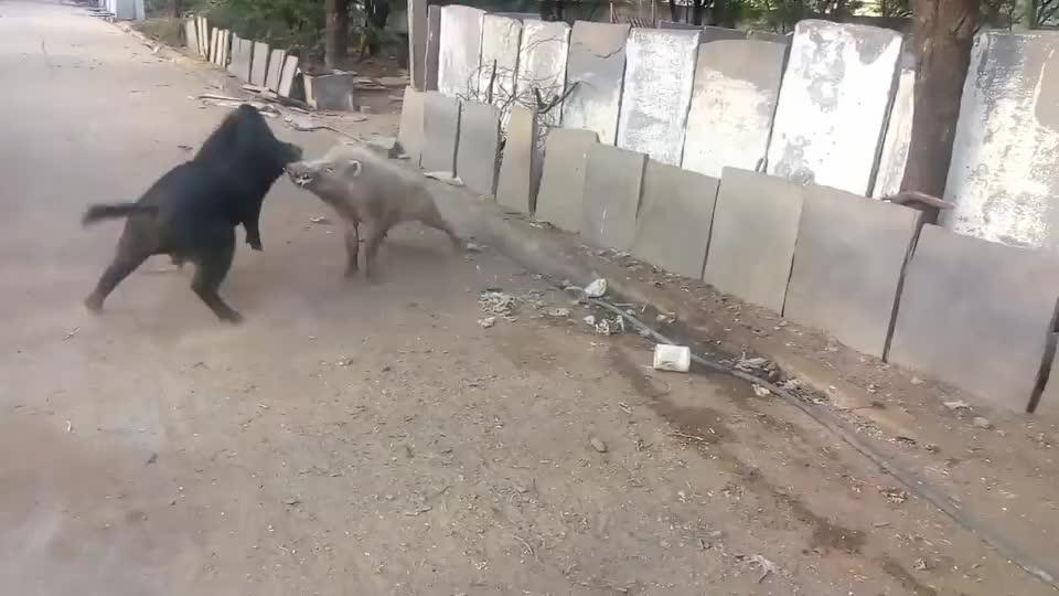凶猛野猪闯入家猪地盘,与家猪大战三百回合,最后竟落荒而逃