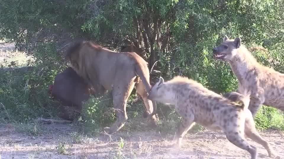 雄狮捕杀一头野牛,却被一群鬣狗抢食,这狮子太憋屈了吧