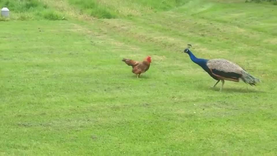 """公鸡遇到大自己几倍的孔雀一点不怂,不愧是家禽界""""平头哥"""""""