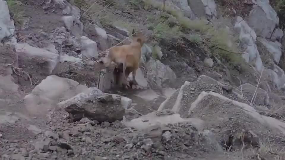 黄牛一脚踩空掉下山崖,让人意外的画面出现了,牛魔王附体了吧