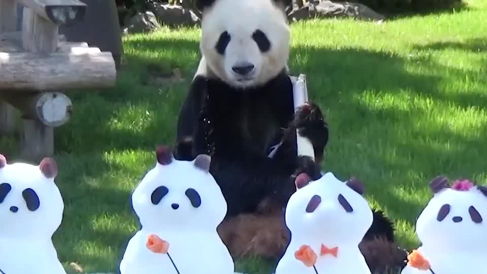 饲养员用雪堆了4只熊猫,真熊猫看后是什么反应?看完笑翻了