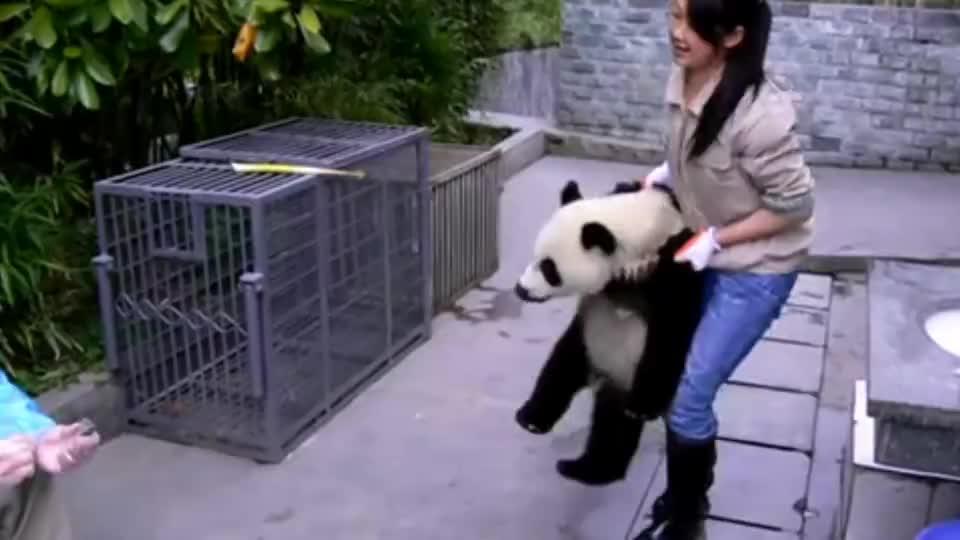 美女求合影,熊猫举动太逗笑,奶爸你可是国宝,注意矜持
