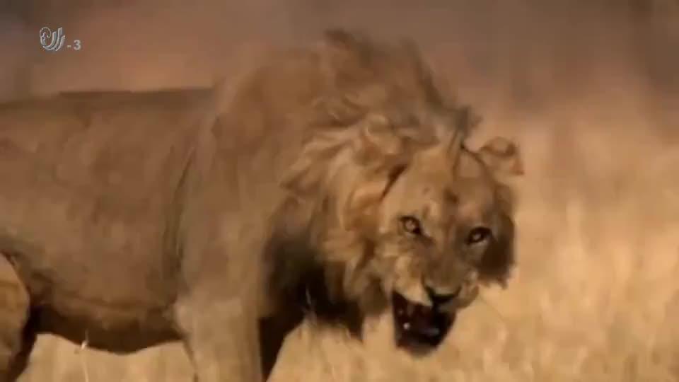 落单的狮子乱闯别人领地,被围攻得好惨!最后伤痕累累!