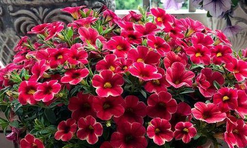养花就养个花期长的,生命力强,成活率高,极易长火盆美极了