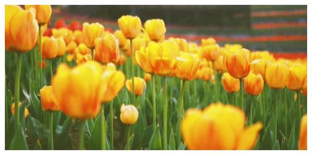 春天去贵州看花,来羊昌花画小镇,在国内就能赏荷兰郁金香