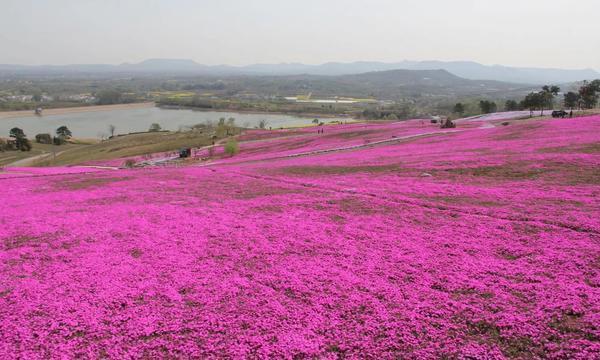 别再看油菜花了!句容有一片紫色花海,唯美超越了你的想象