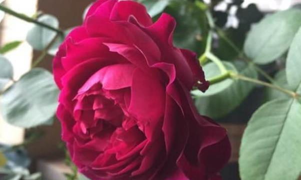 喜欢玫瑰,首选精品月季暮光之城,花开绚丽,香气四溢
