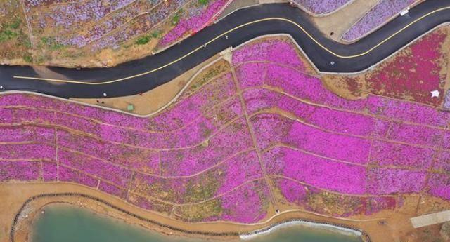 河北迁西县雨花谷景区的芝樱花盛开