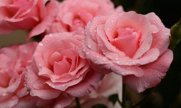 5种花卉,花朵硕大,花期长,香气满满,人见人爱