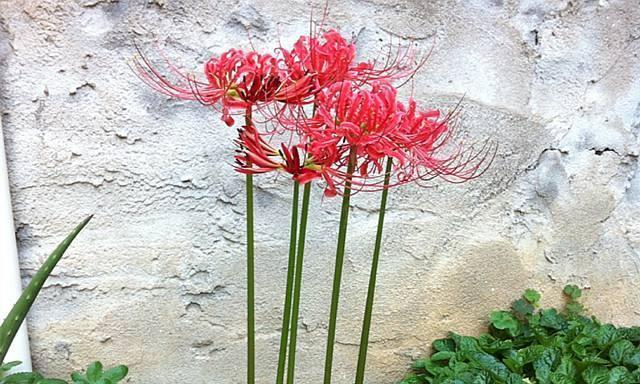 """院子里种了""""新型花"""",隔壁奶奶却说是""""死人花"""",让拔掉"""