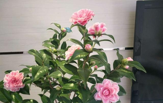 二月养茶花,有4个坑 别踩,开春后叶绿花繁,赏