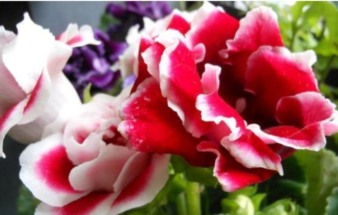 适合庭院养护的花卉,花姿妖娆,越养花越多