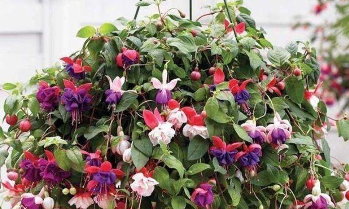 家养几款花卉,花色淡雅,火盆蓝色一片,超美的