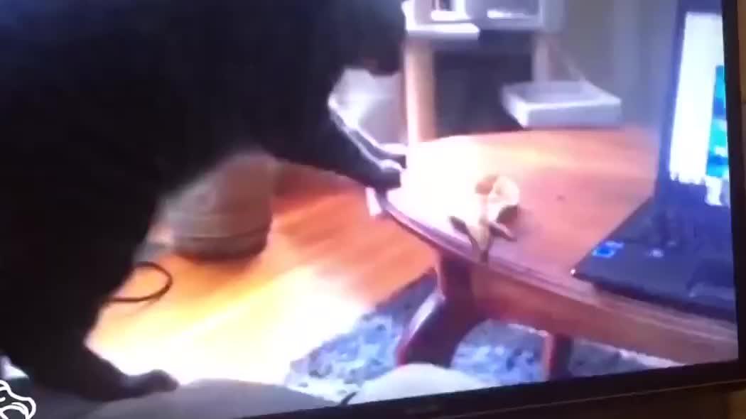 猫咪遇到香蕉后的反应,你绝对想不到,爆笑