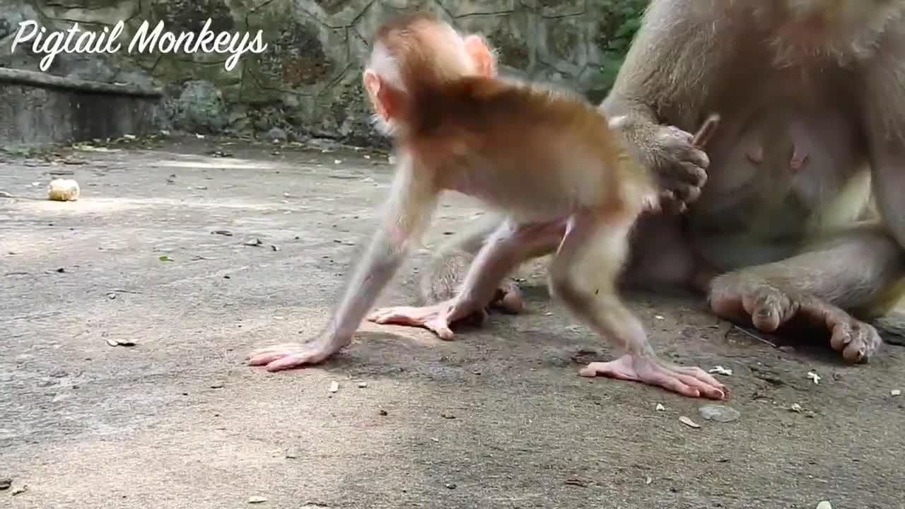 小阿尔伯特对摄影师的相机很好奇,猴妈把他迅速带回,生怕他受伤