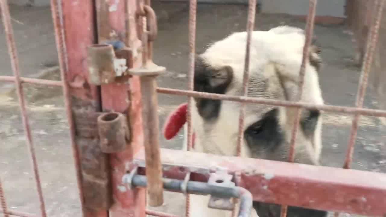 两只被放出铁笼的坎高犬,非常得瑟向笼中的小伙伴们炫耀