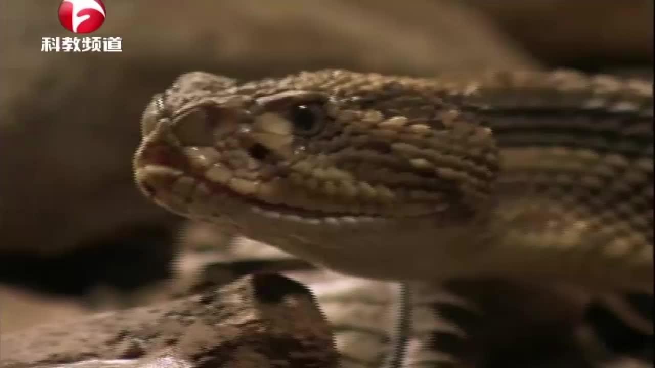 响尾蛇在遇到危险时会提前预告敌人,发出的声音像极了干辣椒声音
