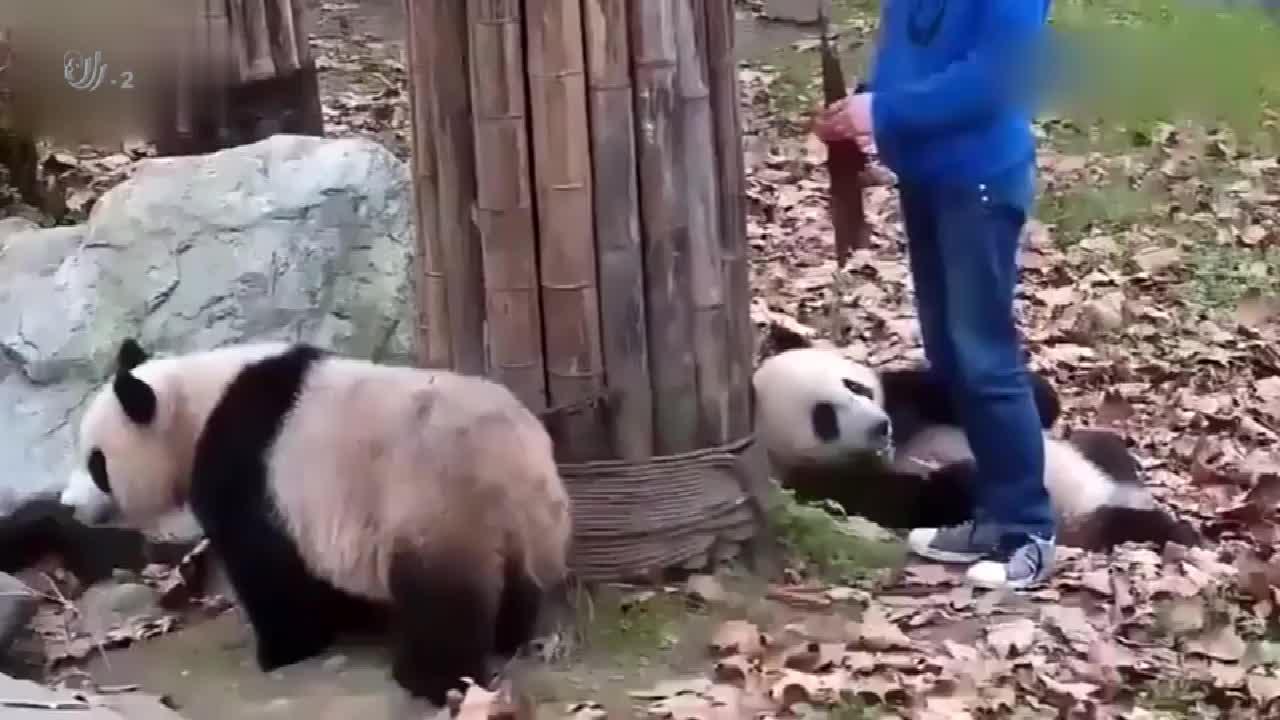 大熊猫配合饲养员拍照,摆在这各种姿势,为了口吃的不容易啊
