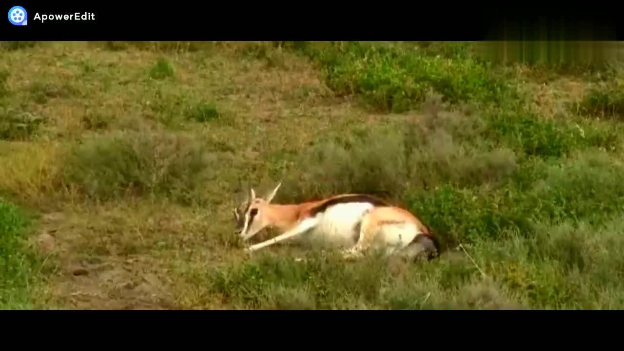 动物世界,瞪羚羊产子,母爱伟大。