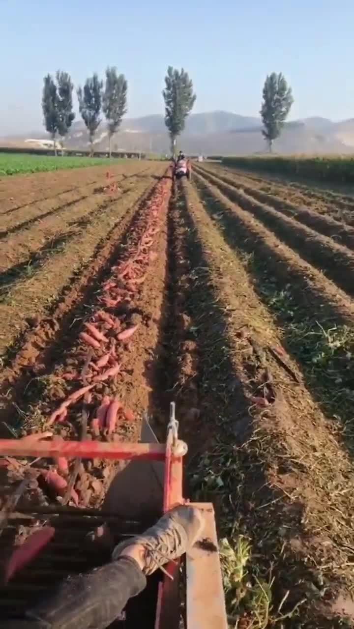 十月果实丰收季农民机械化收地瓜忍不住多看几眼科技越来越发达了