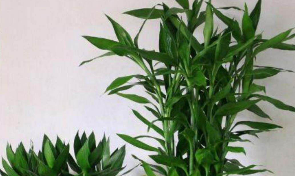 水养富贵竹,如何避免出现黄叶?有几个方面要多留意