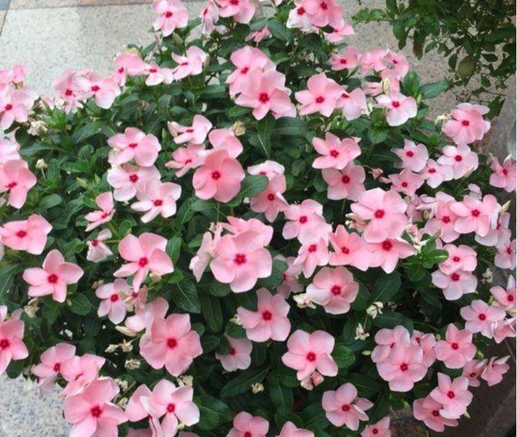 适合阳台养护的几款花卉,耐寒易打理,一盆千百朵,枝头花苞满