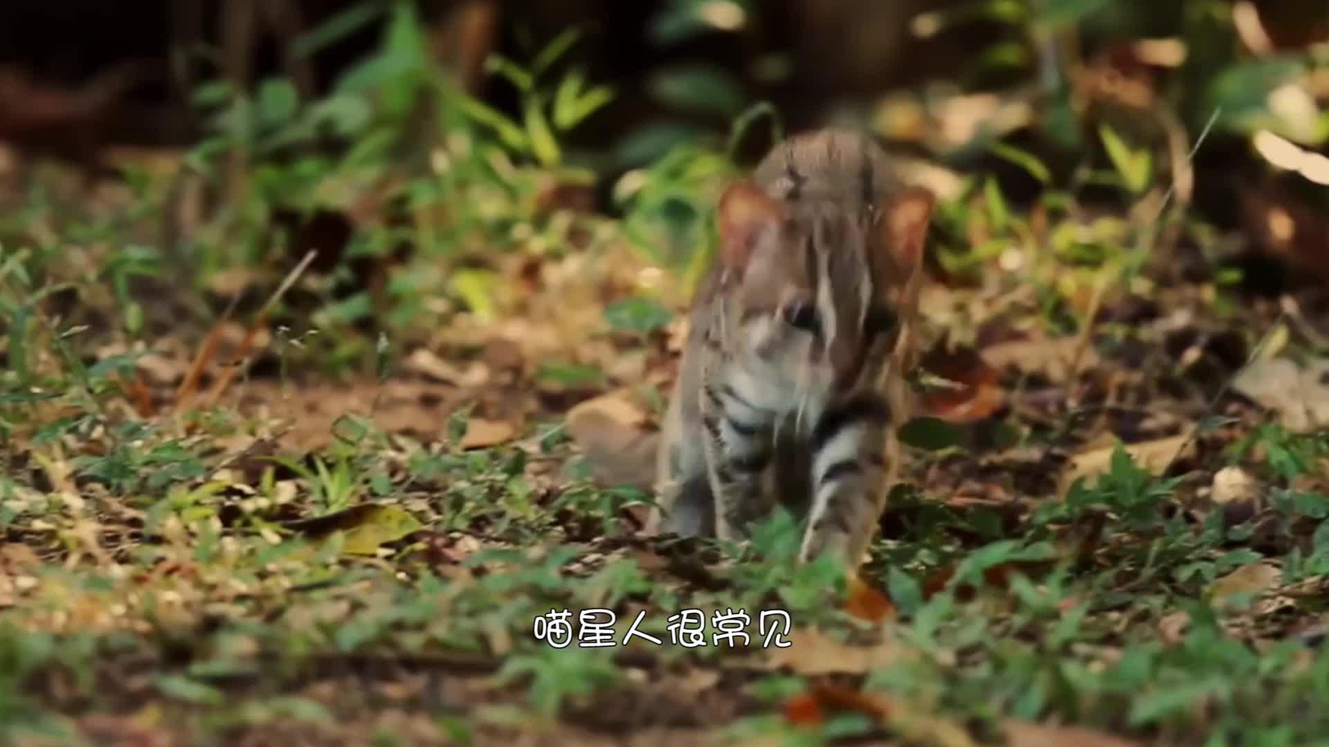 世界上最小的猫,体重不超过2公斤,成年后仅有手掌大小