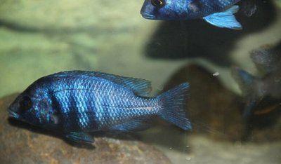 蓝宝石鱼食性杂喜食活饵,色彩美丽,可作为观赏鱼类!