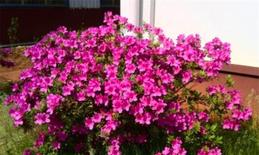 冬天养杜鹃花,学会4个巧办法,花苞多不黄叶,轻松开火盆