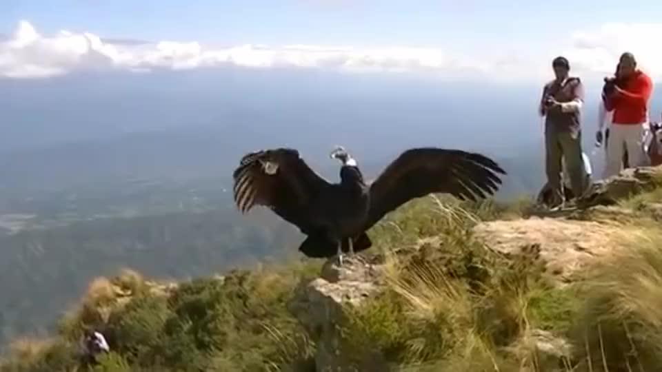 大叔收养了一只受伤的秃鹫,放生时却尴尬了,秃鹫忘记怎么飞了!