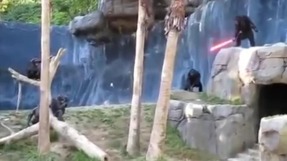 黑猩猩被围攻,同伴抄起家伙就上前,棍法简直出神入化!