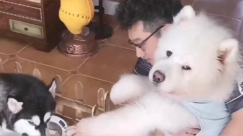 二哈生宝宝了,每天看见主人给它加餐开小灶,萨摩耶狗狗馋的不行