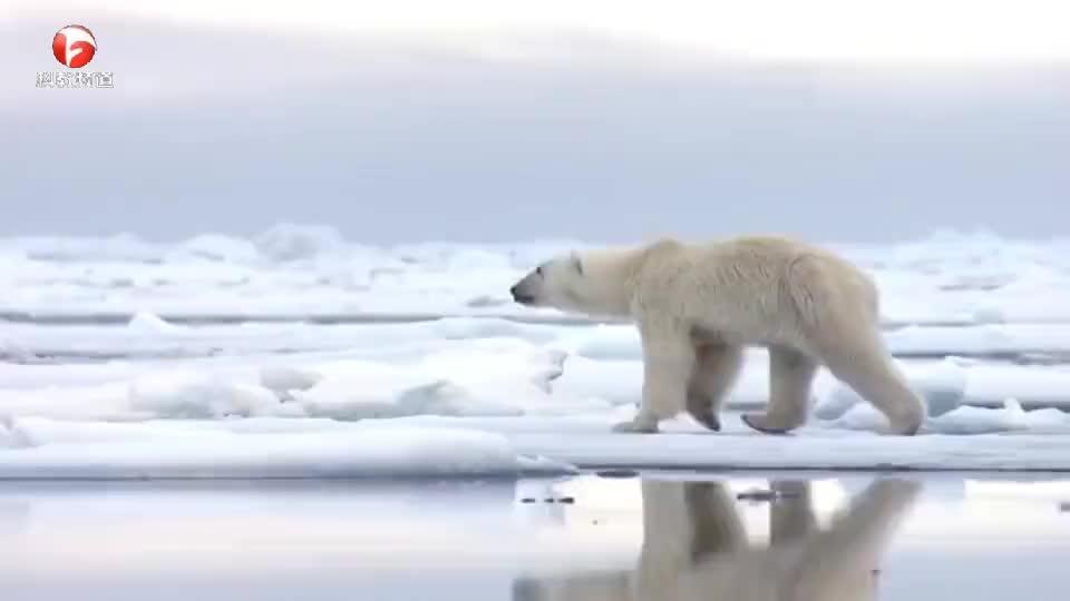 在冰上躺着休息的海豹,刚躺下就遭到北极熊的袭击,真是太倒霉了