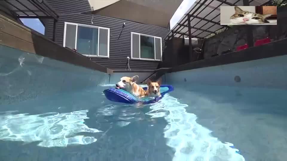 柯基和小伙伴在泳池里玩,边游泳玩球球,这日子简直过得真舒服!